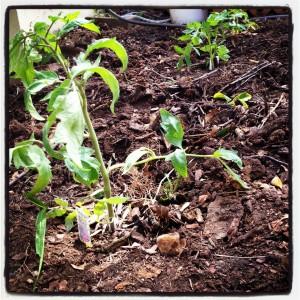 tomato plant in my garden